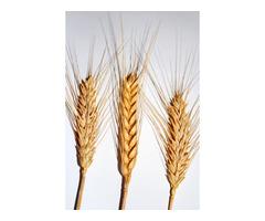 Насіння Озимої пшениці Тайра