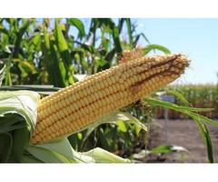 Кукуруза Данііл (ФАО 280)